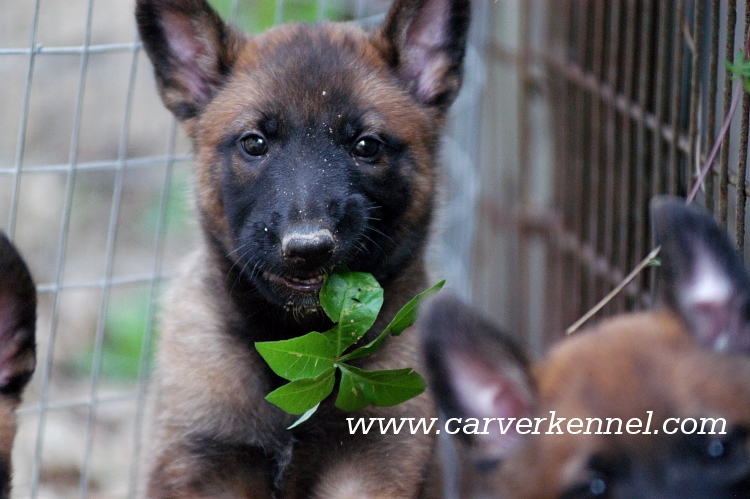 CARVER KENNEL | Belgian Malinois Puppies